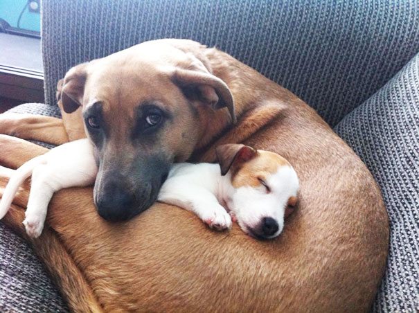 Big-Dog-Loves-Her-New-Puppy-Friend