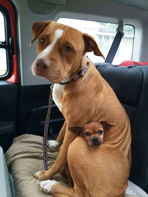 Pit-Bull-And-A-Chihuahua-Who-Got-Adopted-Together