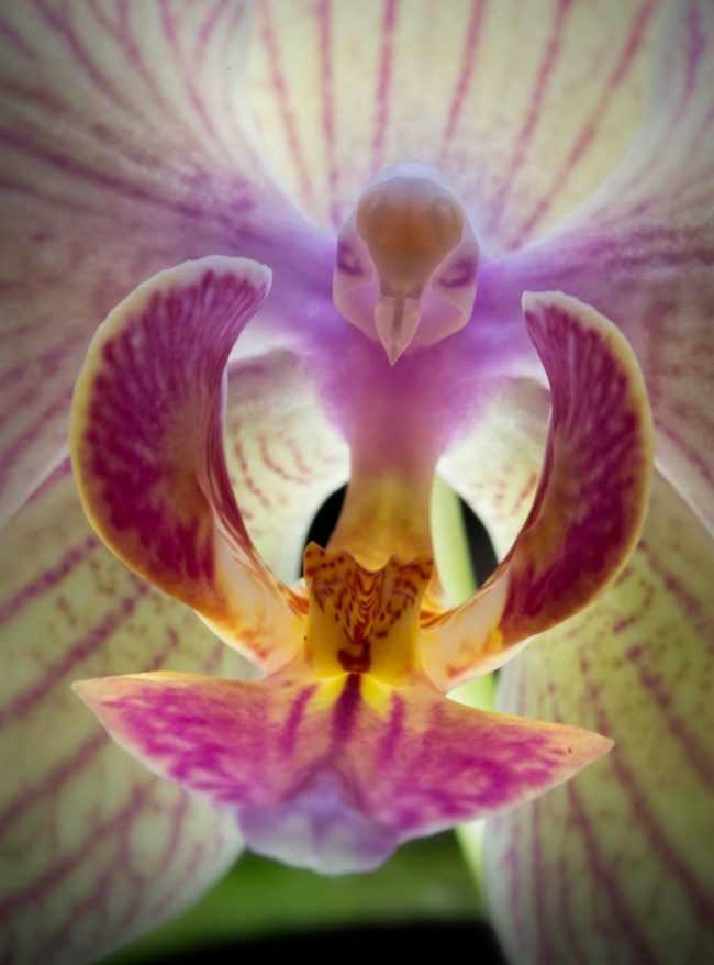 1132505-flowers-look-like-animals-people-monkeys-orchids-pareidolia-9-650-672604a5d6-1484647157