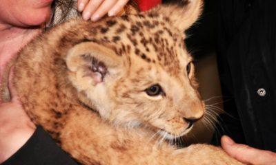 szia.sk - A vadonban már kihalt berber oroszlán született egy cseh állatkertben